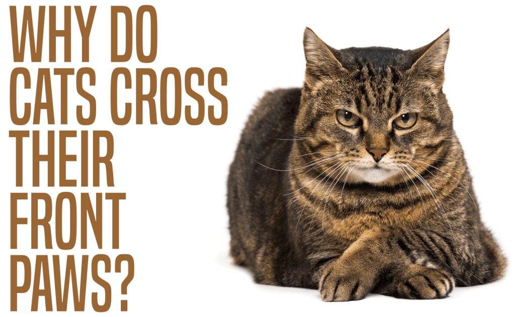 Why Do Cats Cross Their Front Paws