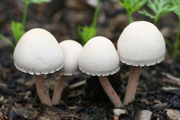 magic ,mushroom