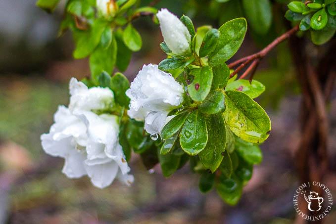 azalea-tree-2