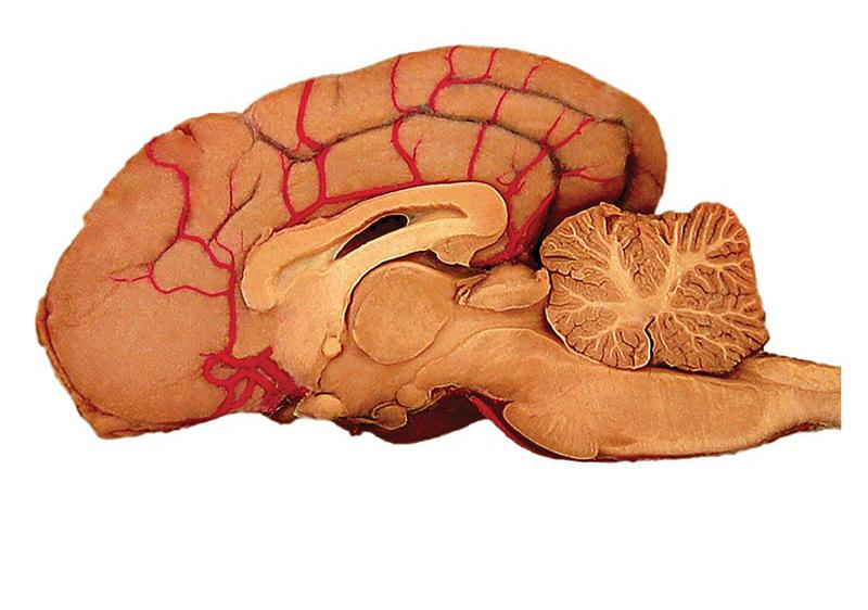 hersenen anatomie functies