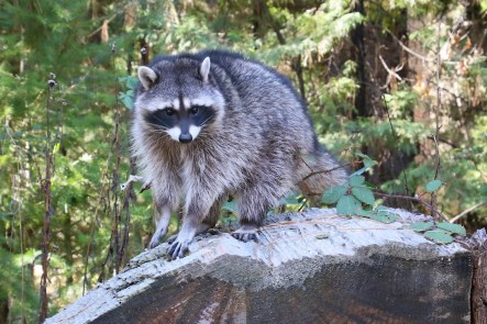 Raccoon_bobbie hefner_larger_T21A5510 - Version 2