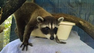 small mammals wildlife rehabilitation and release - cawildliferaccoon