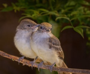 wildlife rehabilitation, and release, wildlife rescue - ash_throated_flycatchers_mg_0043_9x11_cr_n_sh_cl_pb_cl