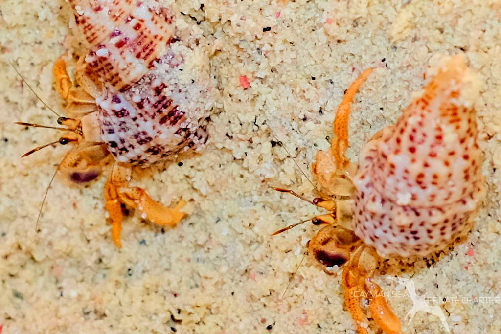 hermit crabs on the beach at starfish point grand cayman
