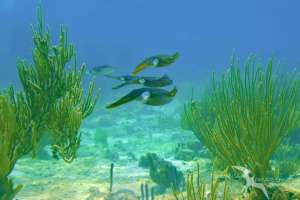 4 cuttlefish on the reef in grand cayman