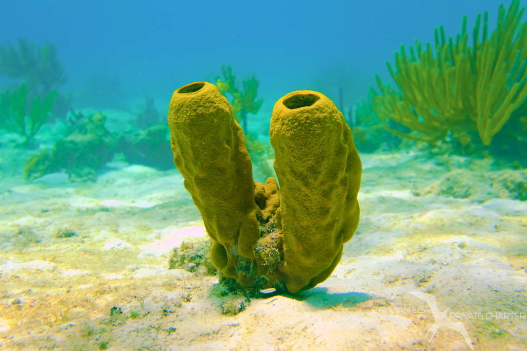 yellow tube sponge in grand cayman snorkeling