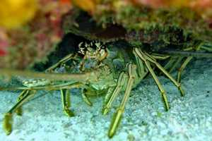 lobster hiding under reef in grand cayman