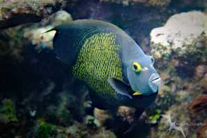fish looking straight at camera amongst the reef while snorkeling in grand cayman