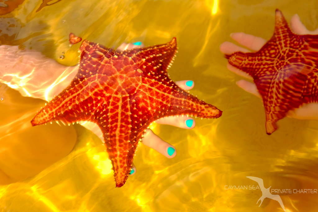 starfish on a hand at starfish point grand cayman