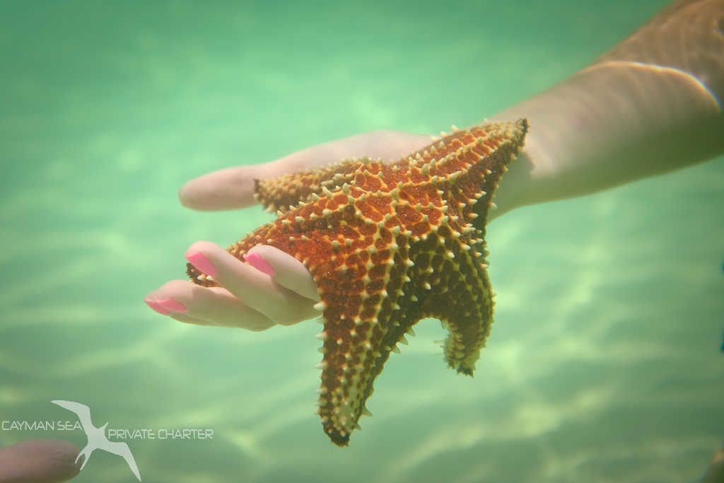 starfish wrapped around a hand at starfish point grand cayman