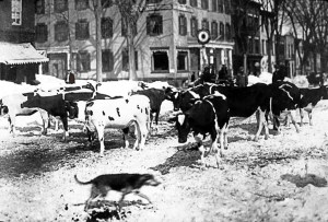 Cows on main edited