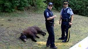 Police officers stand next to the body of a bear they shot in a Coquitlam, B.C., yard on Wednesday. (CBC)