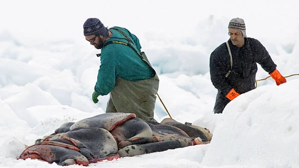Hunters gather pelts as the annual East Coast seal hunt starts in the