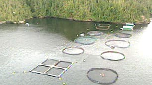 Farmed salmon kept in net pens like these can escape if the nets tear, as they did near northern Vancouver Island this week.