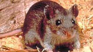 The hantavirus is found in mice droppings.