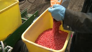 A farmer pours neonicotinoid-covered corn seeds into a barrel.