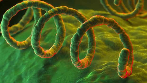 Treponema pallidum, the bacterium responsible for the sexually transmitted infection syphilis.