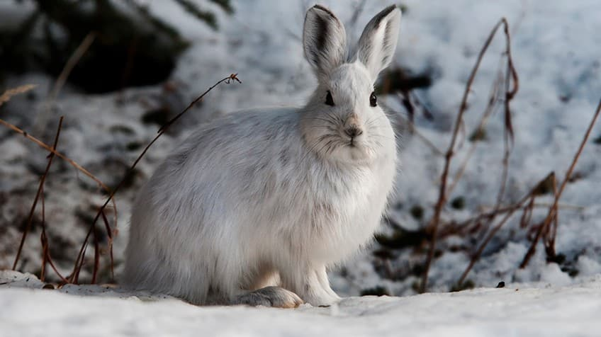 Image result for snowshoe hare