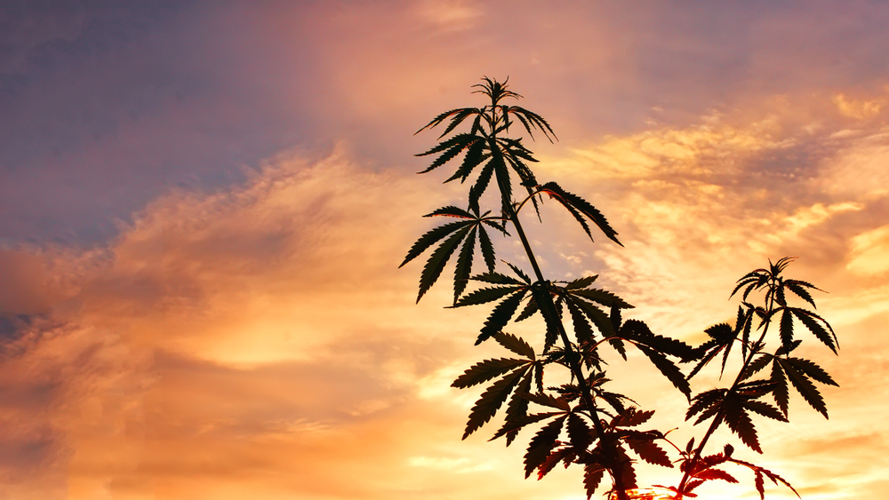 hemp plant outside during the hours of twilight