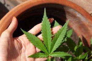 CBD marihuana a jej zaujímavosti