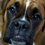 Boxer_Dog_CBD_Today