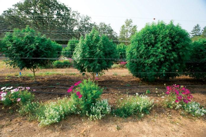 East-Fork-Cultivars_Kim-Nguyen_EF-0255_web_CBDToday