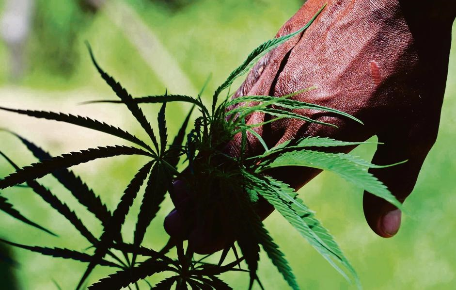 Government may expunge dagga-related charges - Cape Business News