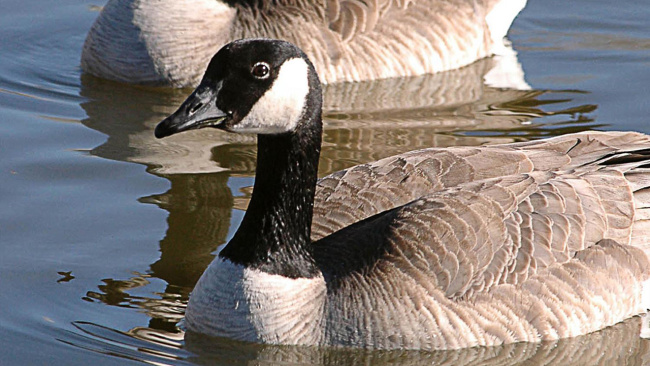 canada-geese_460041