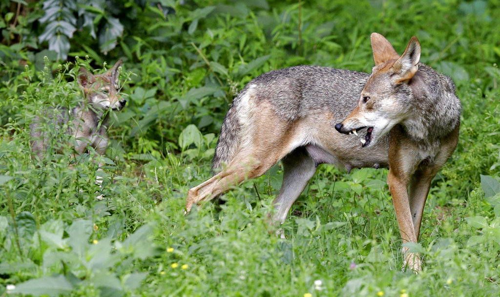 Red Wolves_1530114016093