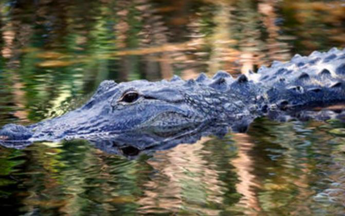 alligator_261311