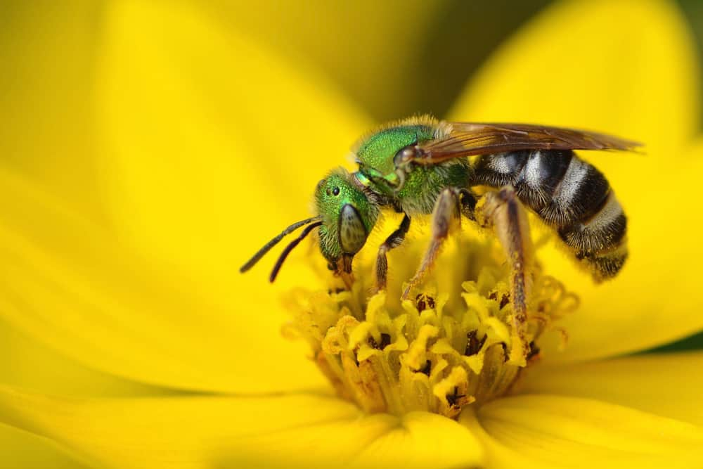 sweat bee-846653543