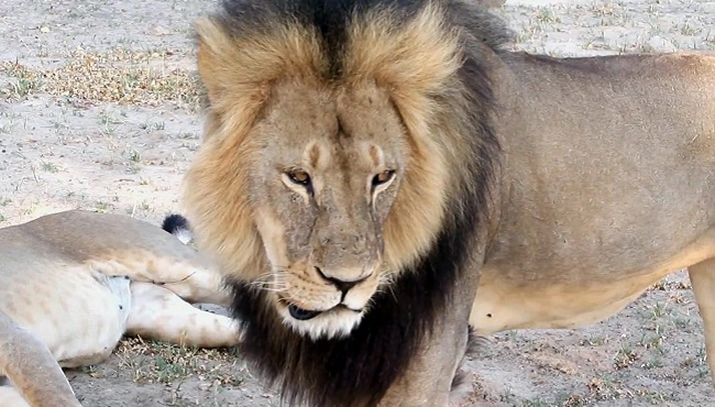Zimbabwe Lion Killed_110192