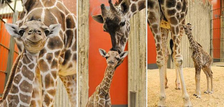Dobby the giraffe_238594