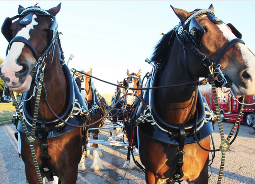 Budweiser Clydesdales Horse team_1513630773194.png.jpg