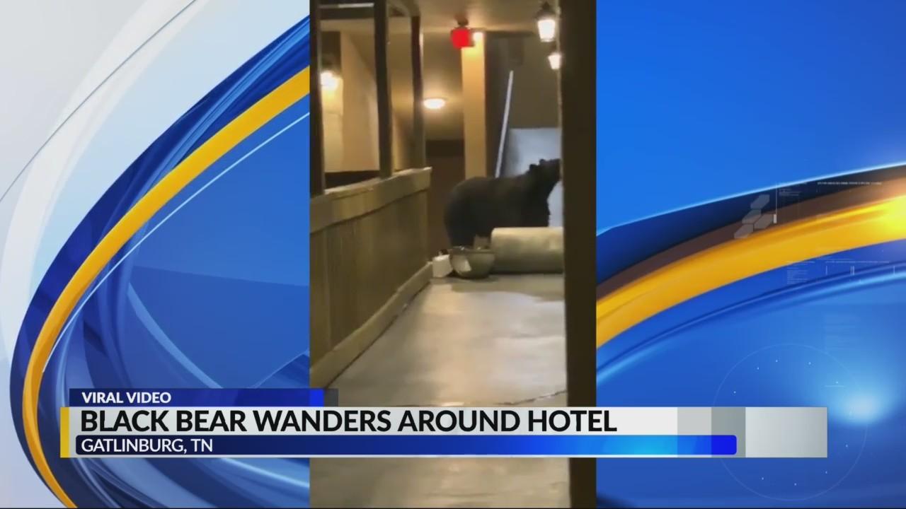 Black bear wanders around hotel