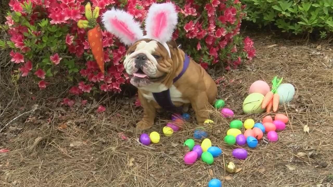 Bulldog chosen as Cadbury Bunny