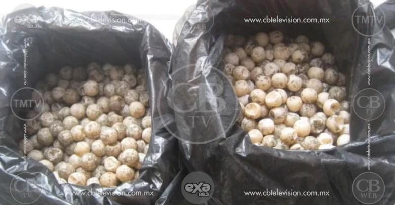 Arrestan a un hombre con más de 500 huevos de tortuga