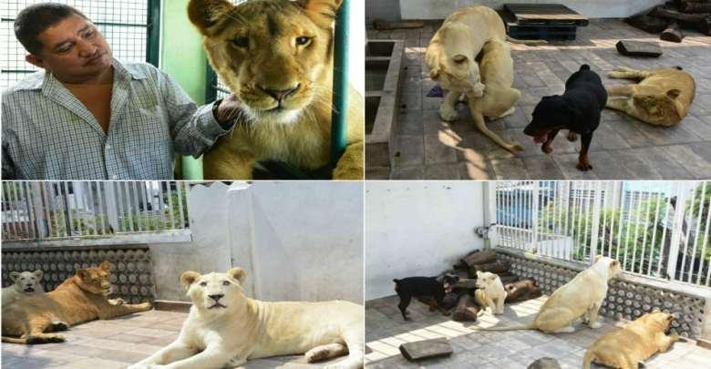 Dueño se niega a entregar leones que viven en su azotea