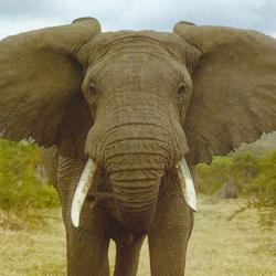 elephant-use-only