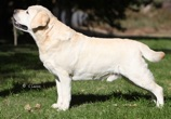 sweetwater labradors