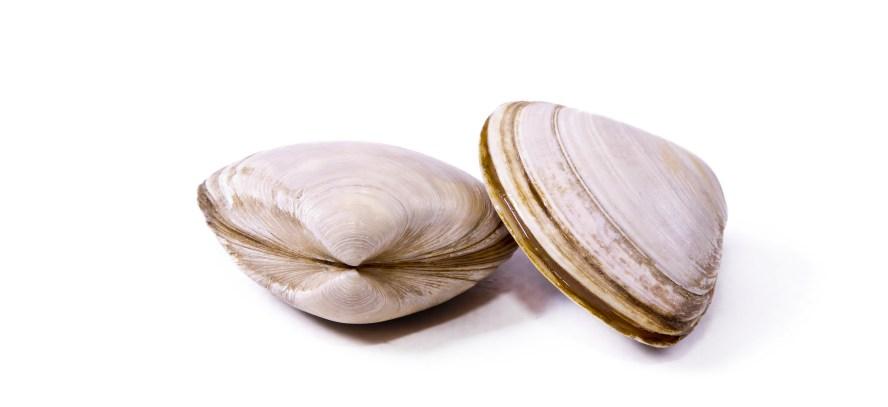 English vocabulary:  clams