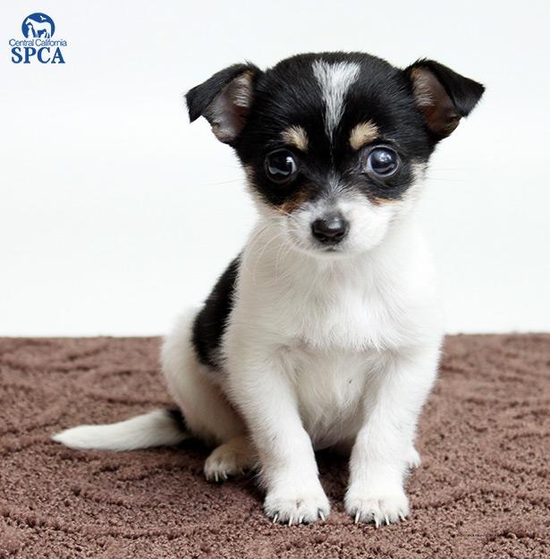 April ID25155408 6 Week Old Female Tri Colored Chihuahua Blend Central California SPCA