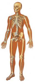 v2001_l_el-esqueleto-humano-con-ligamentos-frontal