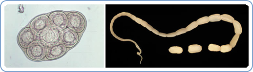 Left: D. caninum egg packet, containing 8 visible eggs, in a wet mount. Right: Adult tapeworm of D. caninum. The scolex of the worm is very narrow and the proglottids, as they mature, get larger.