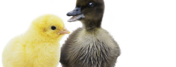A baby chick and duck