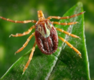 Image for Gulf Coast tick (Amblyomma maculatum)