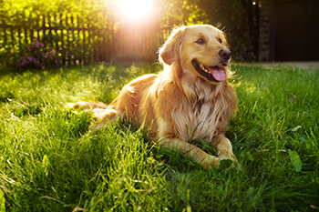 golden retriever lying in the grass