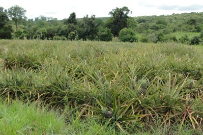 A pineapple field