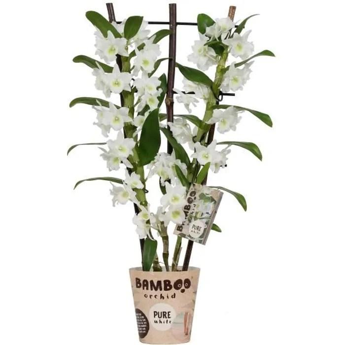 orchidee bambou fleur blanche plante d interieur hauteur 50 cm pot 12 cm entretien facile