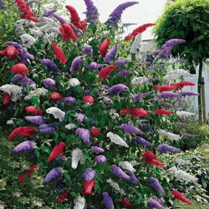 20 Pcs Papillon Bush Graines Rare Fleur Plante Arbre Exotique